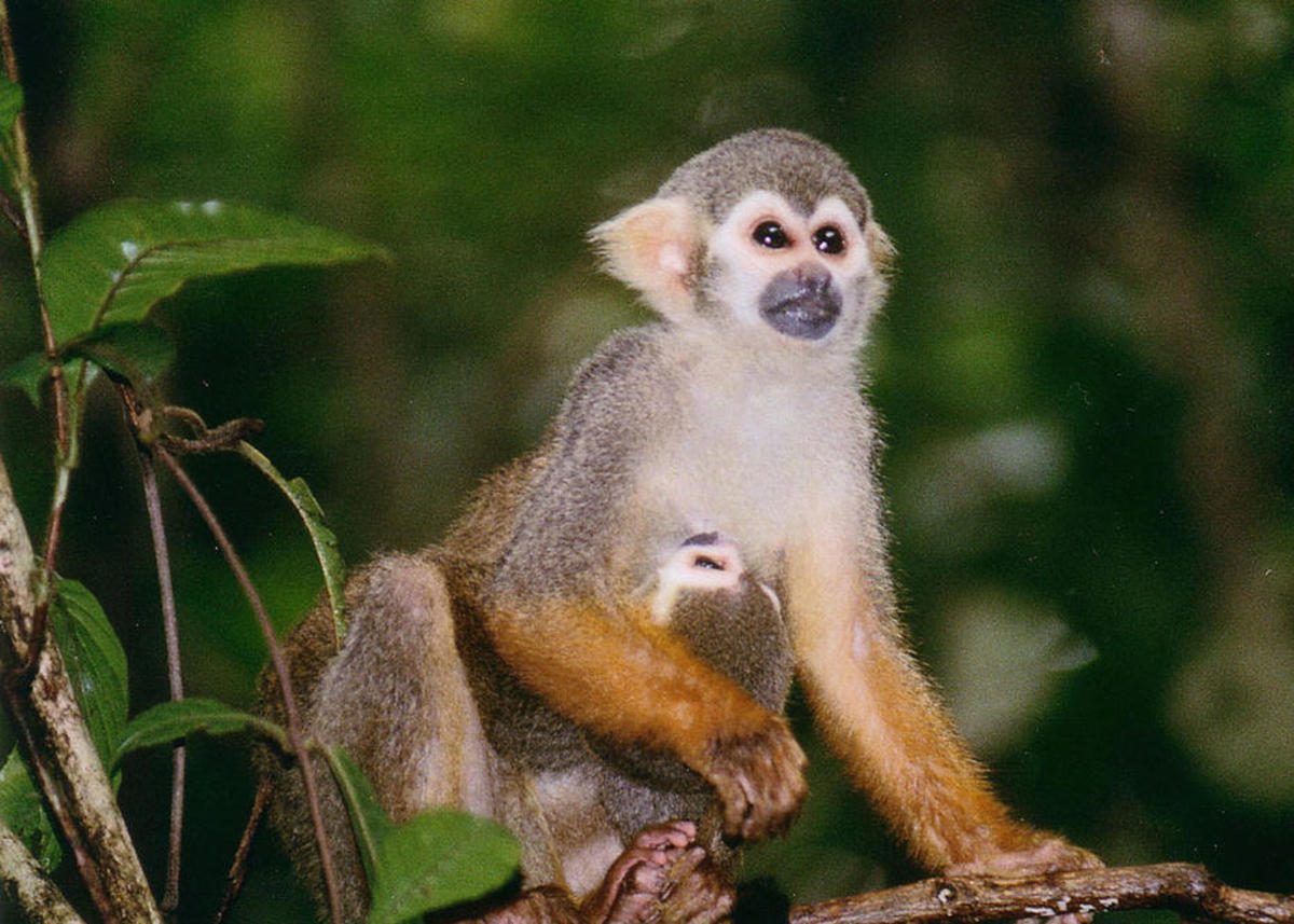 An adult and baby squirrel monkey. (Photo: Anita Stone)