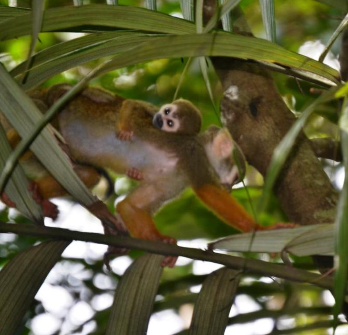 An adult squirrel monkey traveling with a baby. (Photo: Anita Stone)