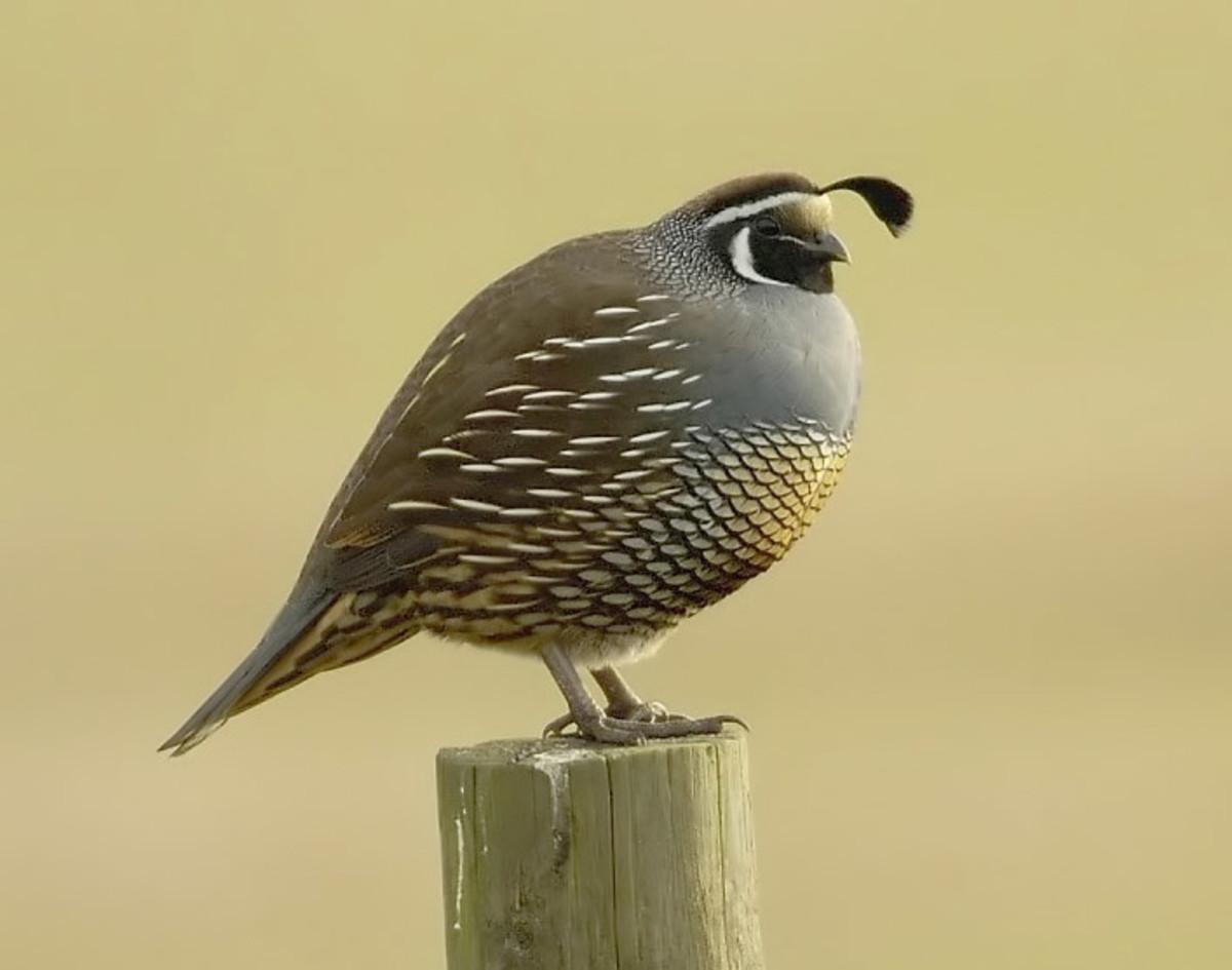 California_quail.jpg