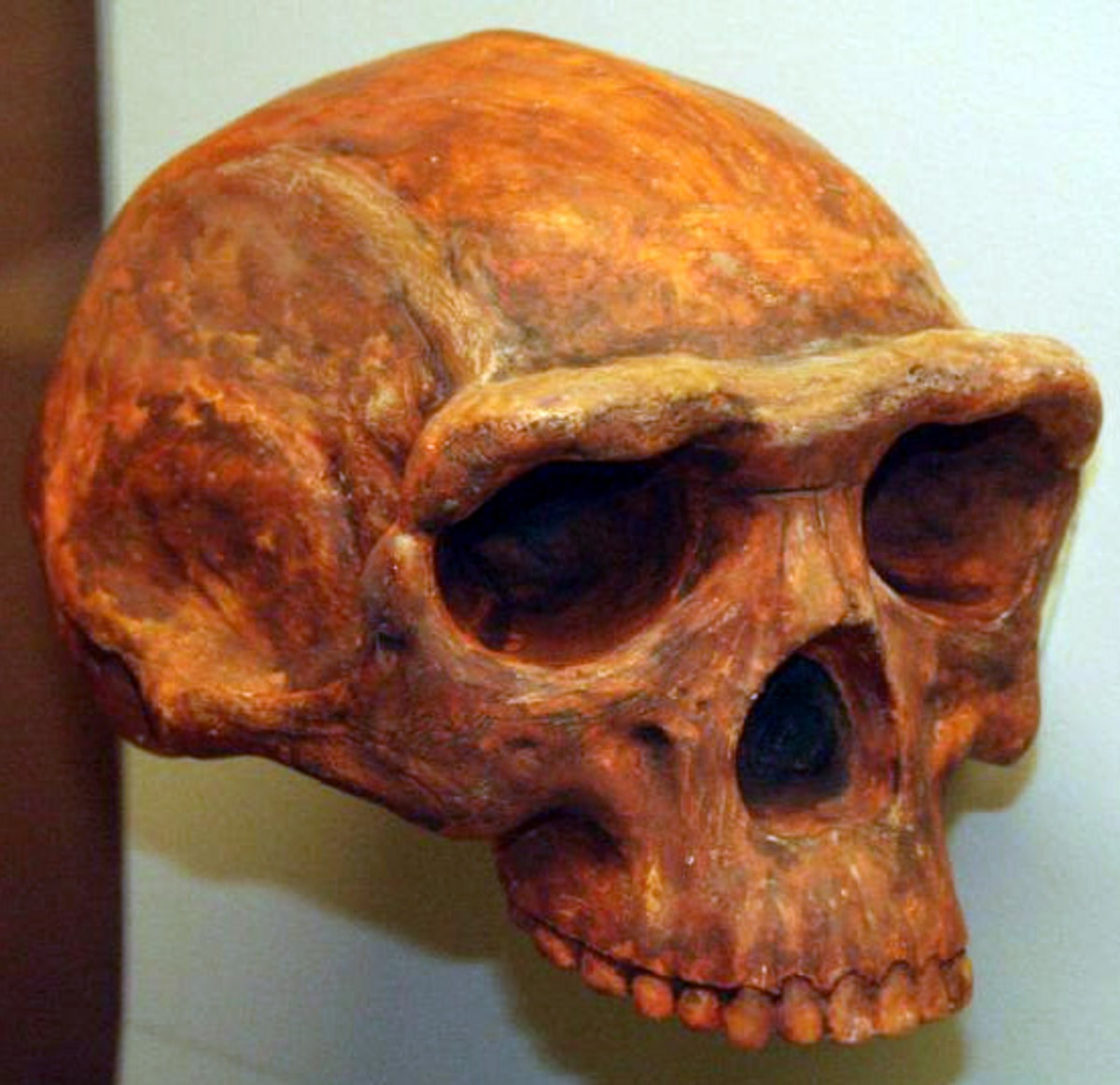 Homo erectus on display at the University of Michigan. (Photo: Wikimedia Commons)
