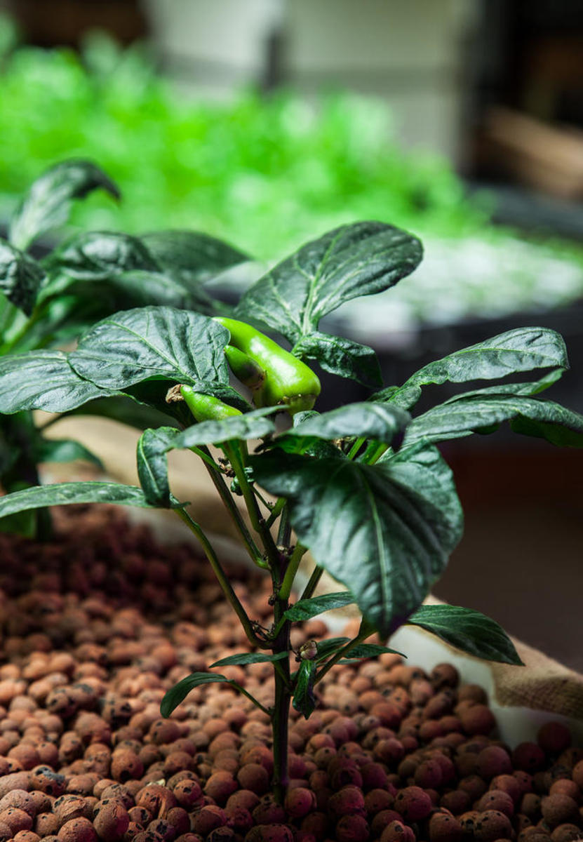 An aquaponic pepper grows at The Plant. (Photo: Plant Chicago/Flickr)