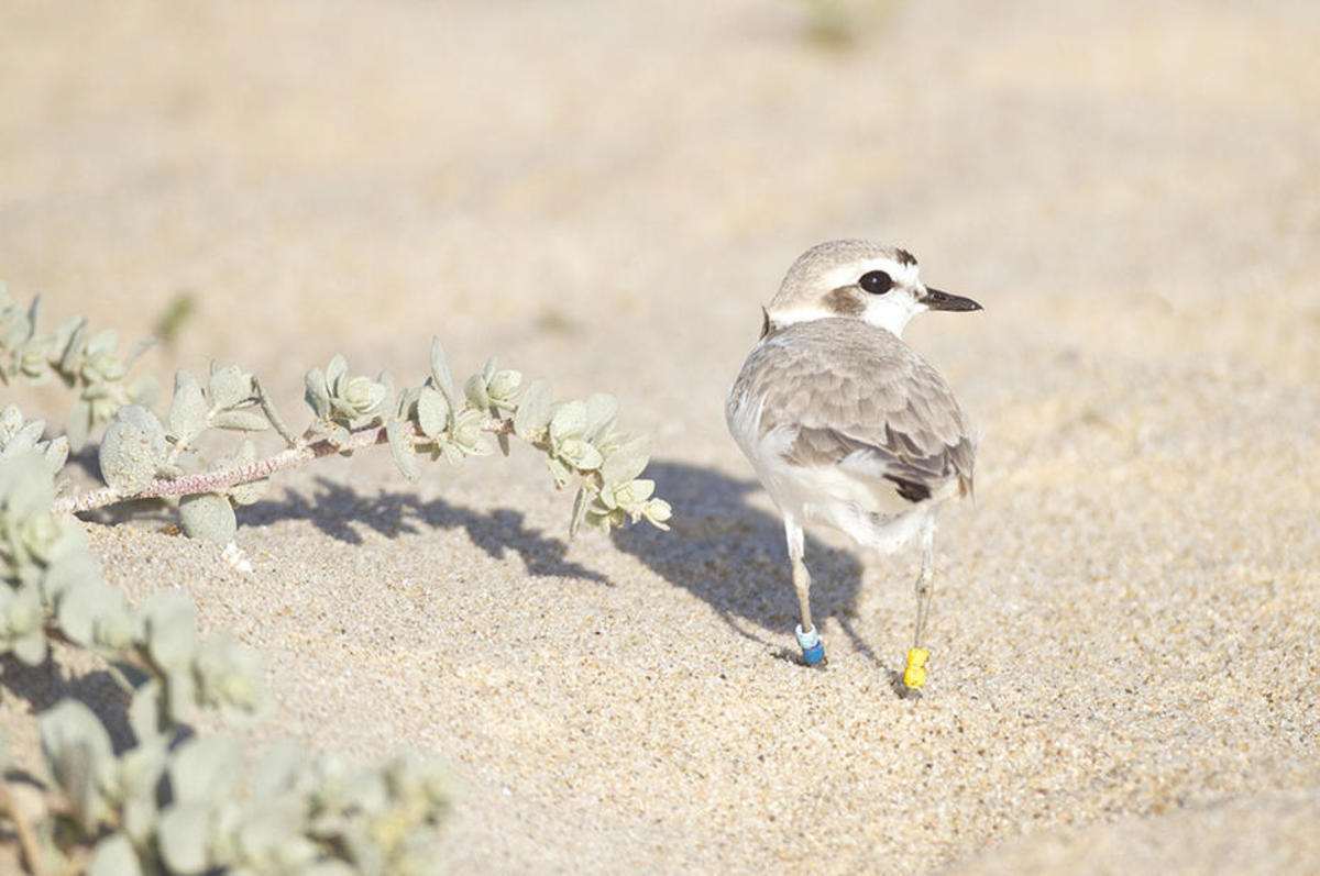 A proposed desalination plant in Huntington Beach threatens the western snowy plover's breeding habitat. (Photo: Blake Matheson/Flickr)