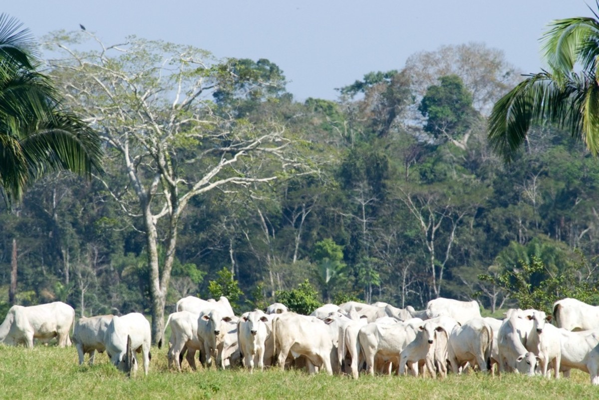 Cattle in Brazil. (Photo: Rachel Kramer/National Wildlife Foundation)