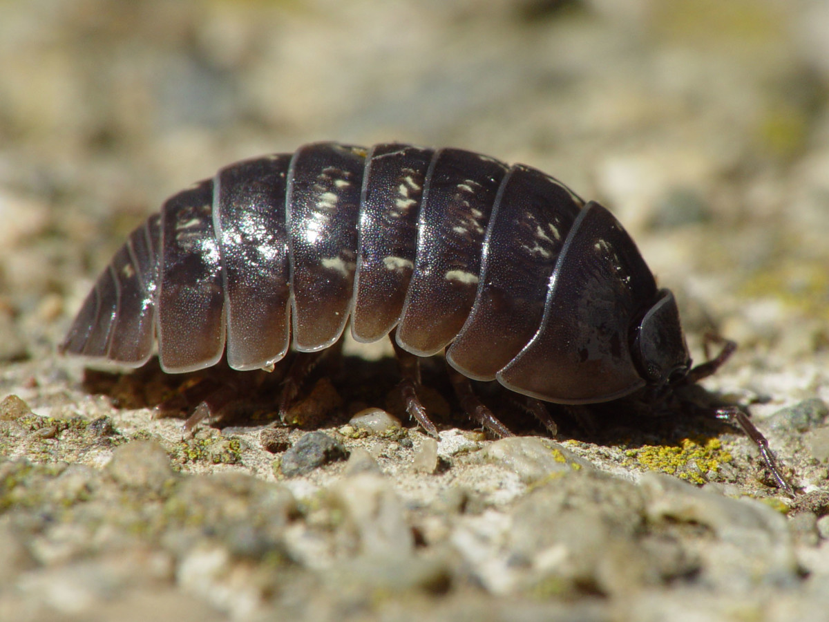 A pill bug. (Photo: Franco Folini/Wikimedia Commons)