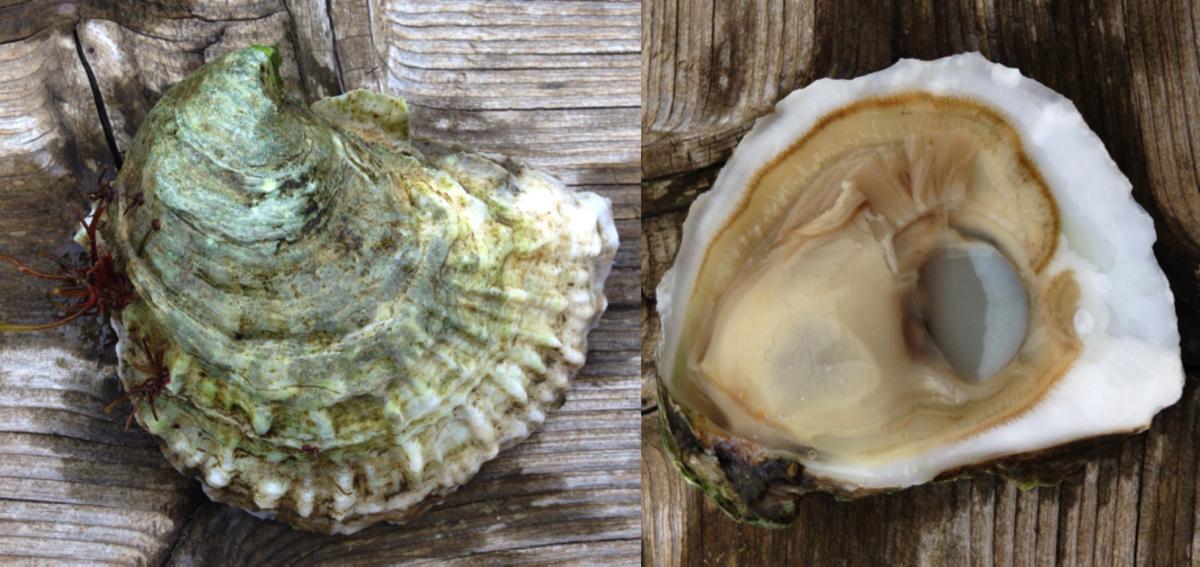 Blue Island's Tomahawk oyster. (Photo: Jamie Tynes)