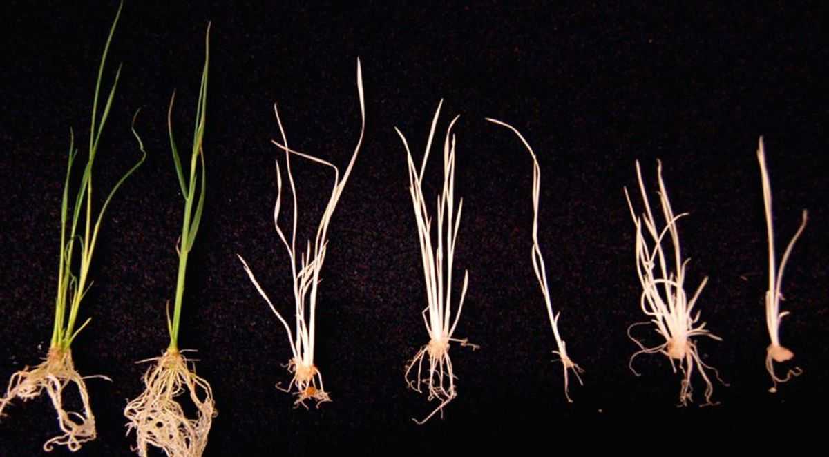 CRISPR rice specimens. (Photo: pennstatelive/Flickr)