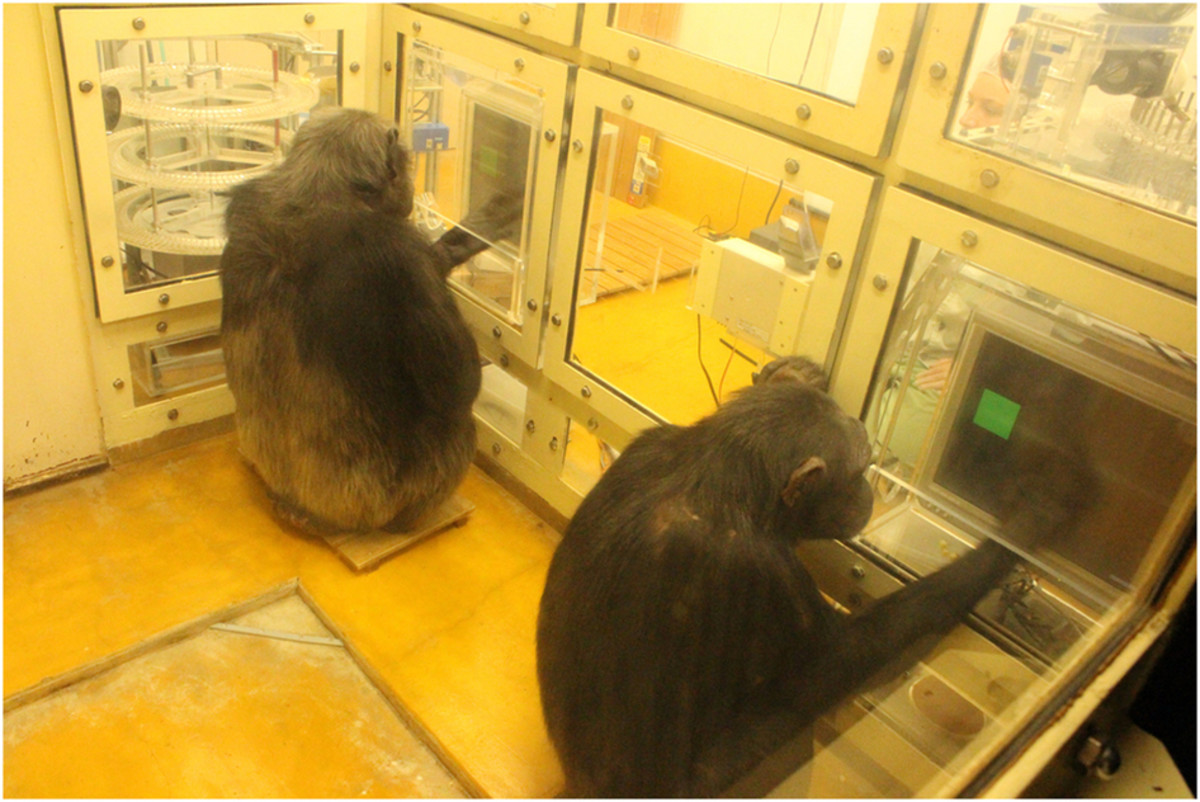 Chimpanzees Chloe (left) and Cleo conducting a finger-tapping task. (Photo: Lira Yu & Masaki Tomonaga)