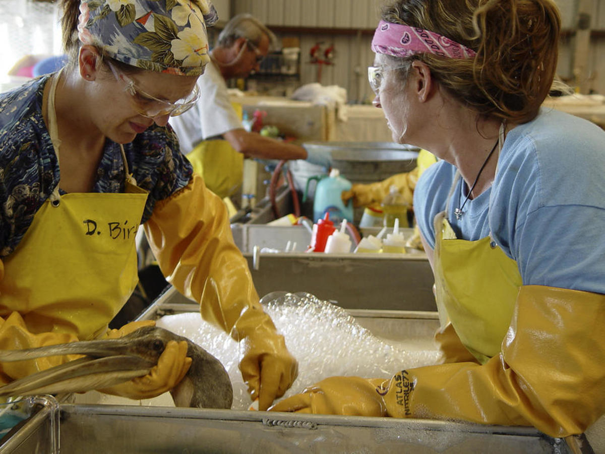 Rehabbers cleaning an oiled brown pelican chick in June 2010, following the Gulf disaster. (Photo: International Bird Rescue Research Center)