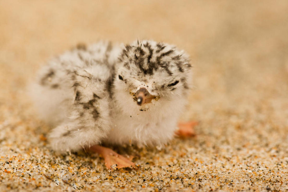 Oil from the Santa Barbara spill  began washing up on the federally threatened Western snowy plover's  nesting grounds at the Coal Oil Point Reserve. (Photo: USFWS)