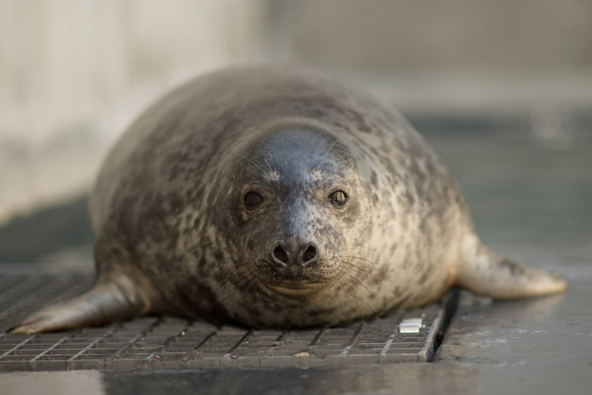 Gray seal pup. (Photo: Smithsonian's National Zoo/Flickr)