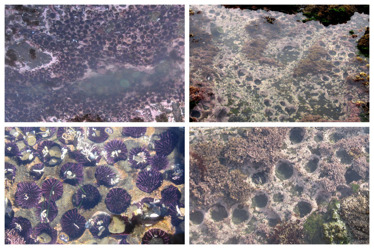 Purple sea urchin populations in northern California before (left) and after (right) a mass die-off in 2011 (Photo: Laura Jurgens/University of California-Davis Bodega Marine Laboratory)