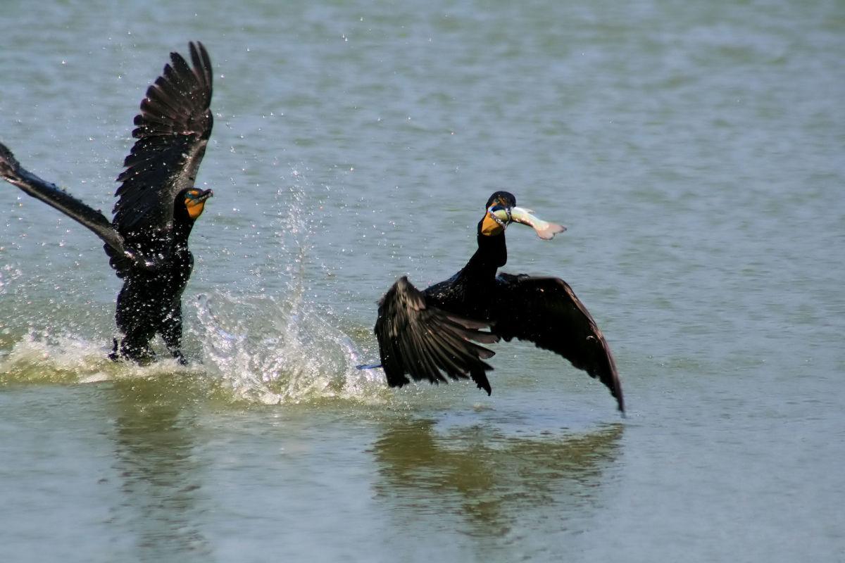 Two double-crested cormorants. (Photo: Brocken Inaglory/Wikimedia Commons)