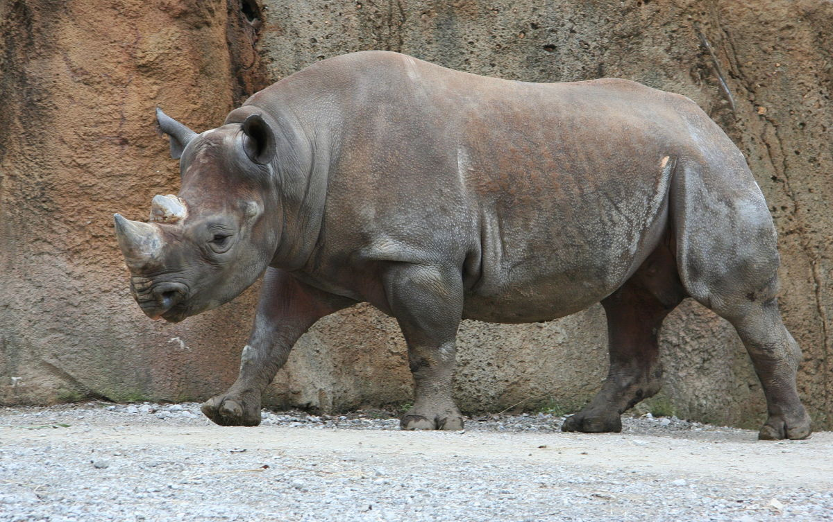 A black rhinoceros at the St. Louis Zoo. (Photo: Jonathunder/Wikimedia Commons)