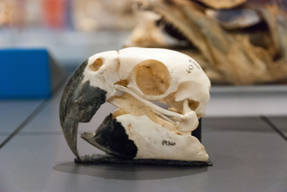 Macaw skull. (Photo: Matt Chan/Flickr)