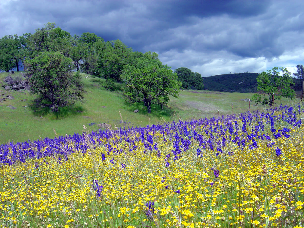 Wildflowers at the McLaughlin Natural Reserve. (Photo: Catherine Koehler/University of California)