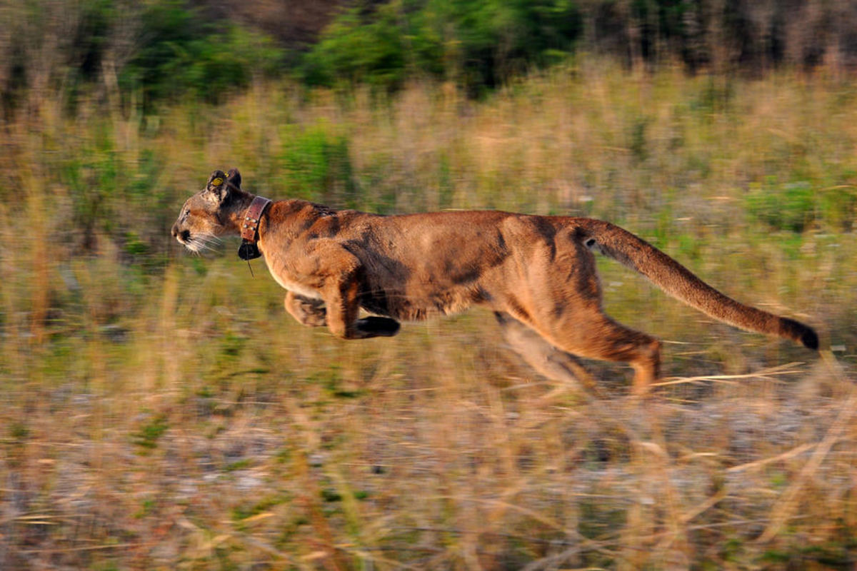 A collared Florida panther is released by the Florida Fish & Wildlife Conservation Commission. (Photo: Florida Fish & Wildlife)