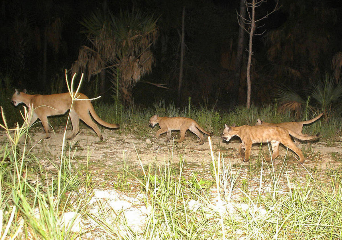 A Florida panther family. (Photo: U.S. Fish & Wildlife Service)