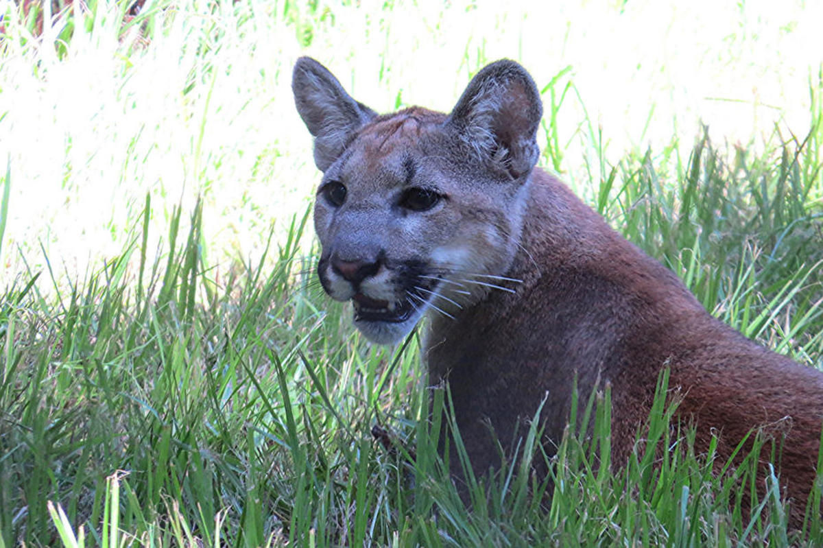Yuma the Florida panther. (Photo: Florida Fish & Wildlife)