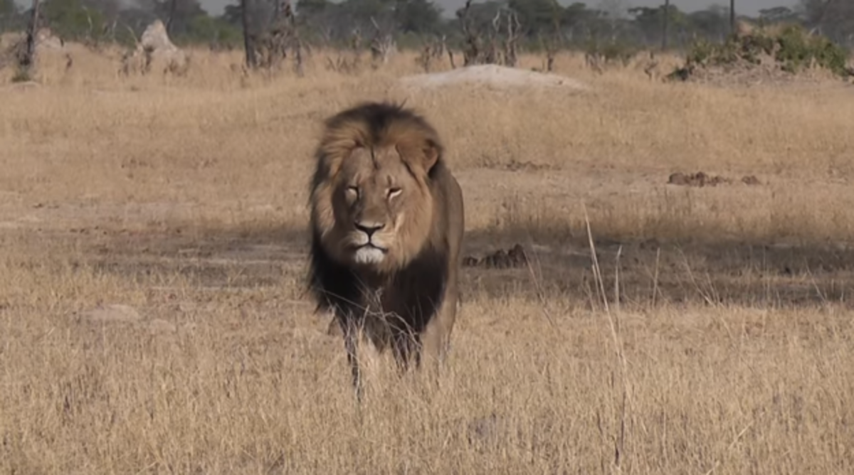 Cecil the lion. (Photo: YouTube)