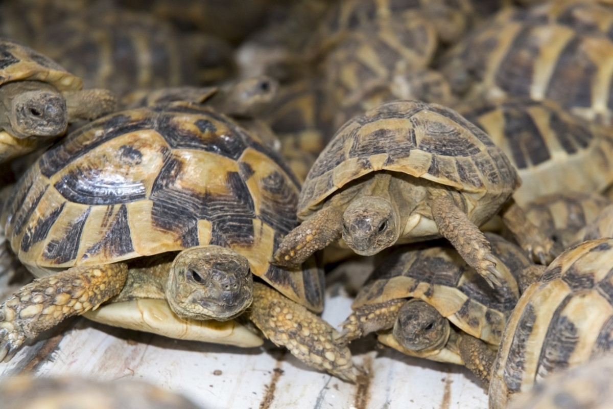 A creep of smuggled Hermann's tortoises. (Photo: belizar/Shutterstock)