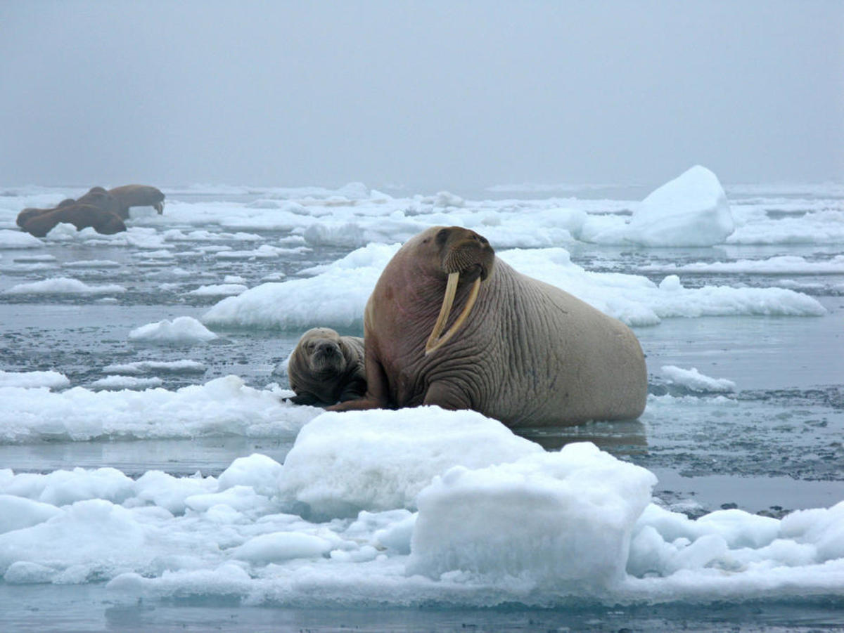 A female walrus and her pup on an ice floe in the Chukchi Sea. (Photo: USGS)