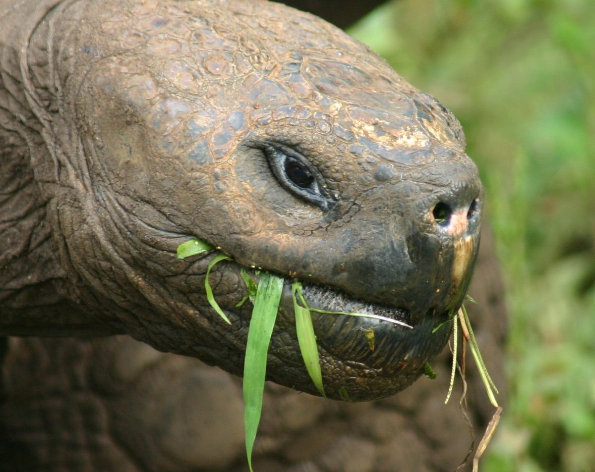 The Galápagos tortoise feeding on Santa Cruz Island. (Photo: Charlesjsharp/Wikimedia Commons)