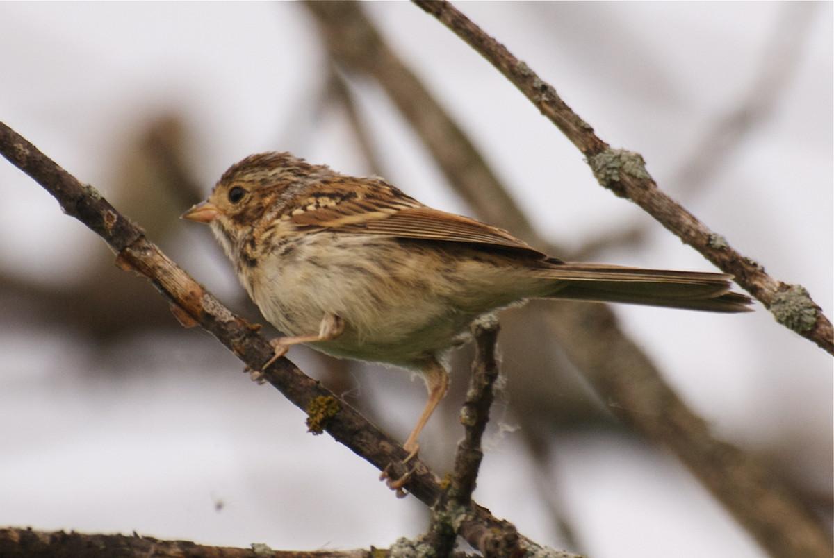 Baird's sparrow. (Photo: ramendan/Flickr)