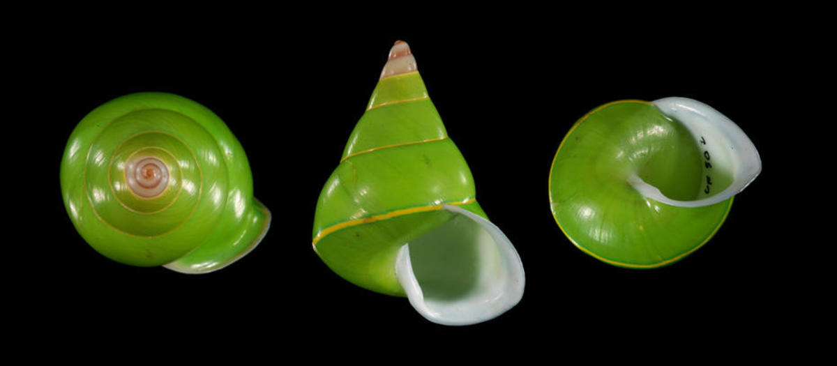 Conservation funds are scarce for the  colorful Manus green tree snail, though the species has suffered from  its popularity in jewelry-making. (Photo: John Slapcinsky/Flickr)