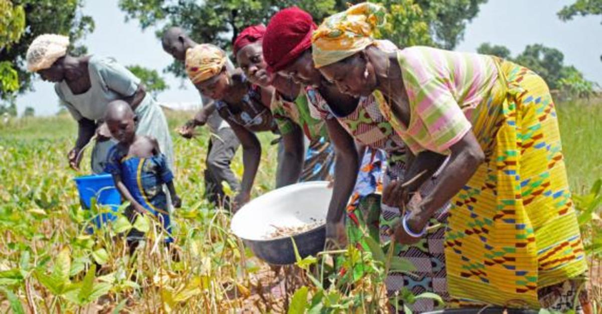 Women harvest cowpeas in Ghana. (Photo: Elisa Walton/USAID)