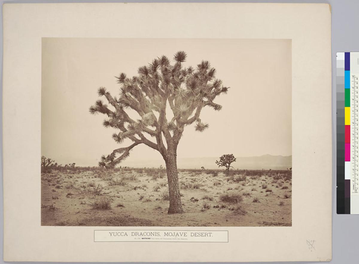 Yucca Draconis, Mojave Desert.