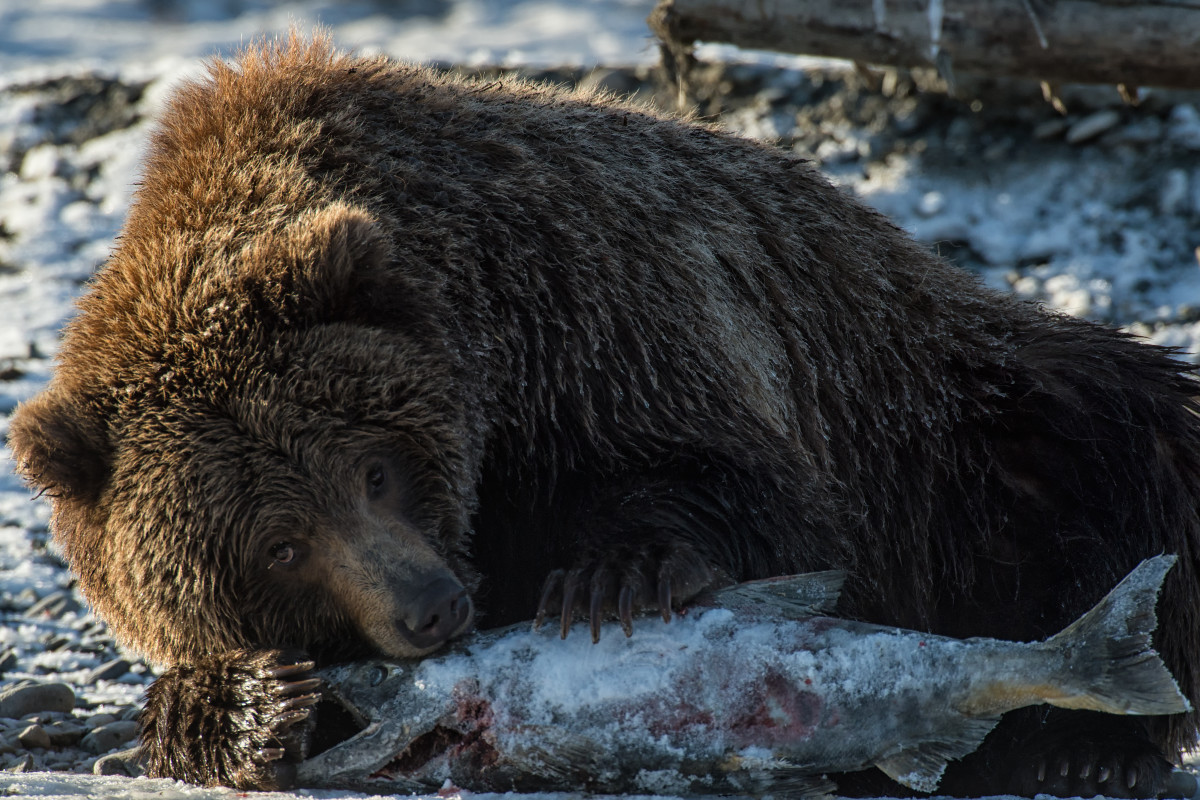 A brown bear eating a salmon. (Photo: Peter Mather)