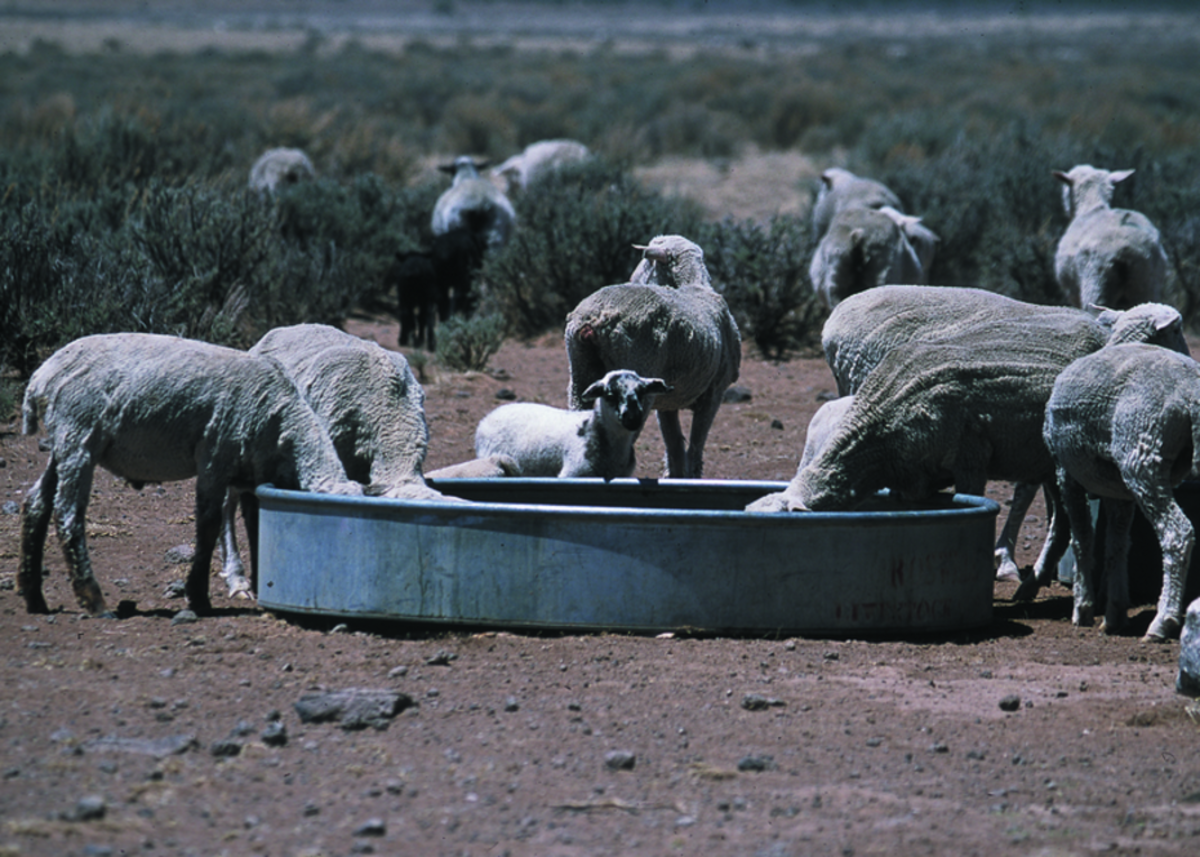 Sheep are brought emergency water on rangeland in Rio Arriba County, New Mexico, during a severe drought in 2002. (Photo: Jeff Vanuga/USDA Natural Resources Conservation Service)