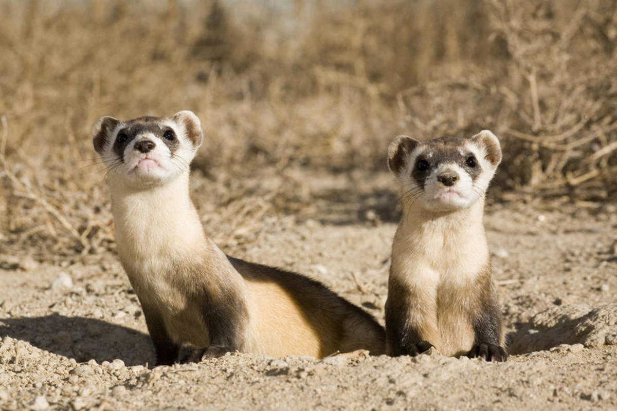 Black-footed ferrets. (Photo: Lincoln Park Zoo)