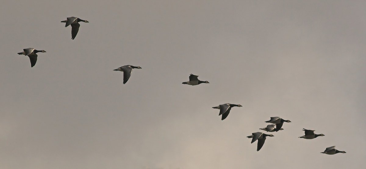 A flock of barnacle geese during autumn migration. (Photo: Chiswick Chap/Wikimedia Commons)