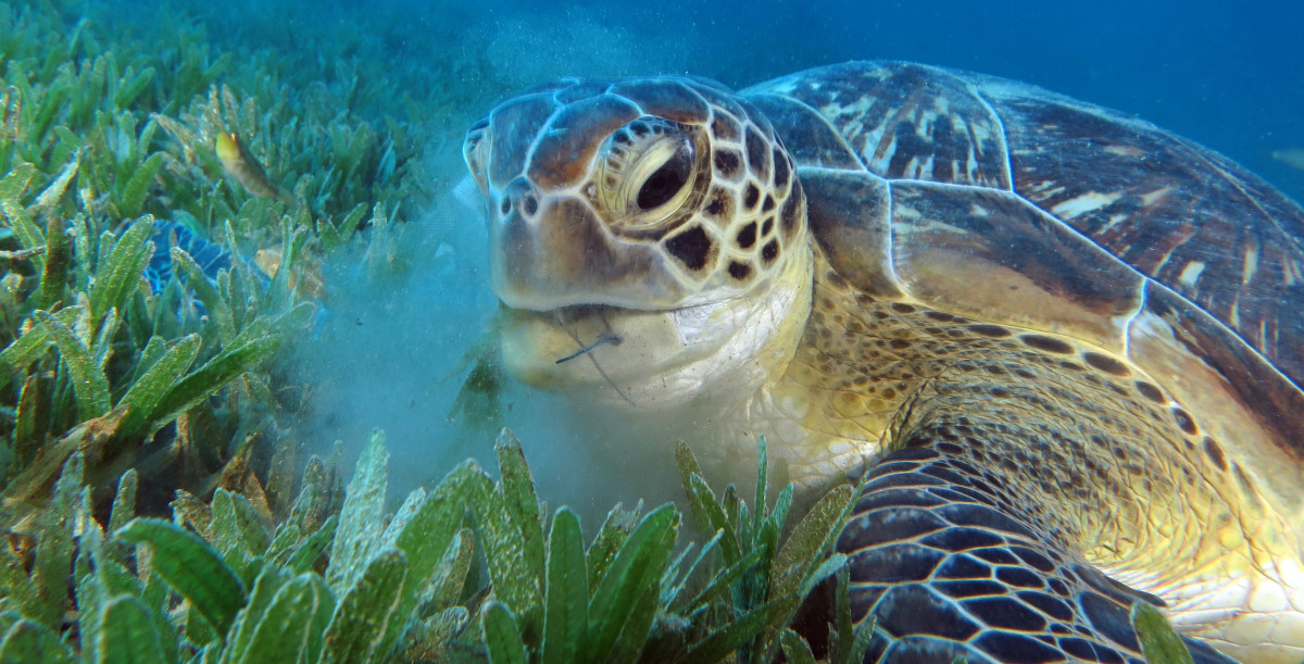 A sea turtle feeding on seagrass leaves. (Photo: LauraD/Shutterstock)