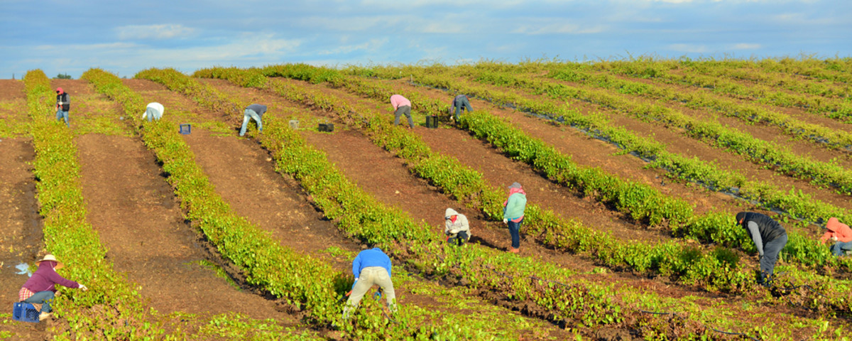 Mexican farm workers begin early in the morning to weed and trim plants in this San Joaquin Valley vineyard. (Photo: Richard Thornton/Shutterstock)