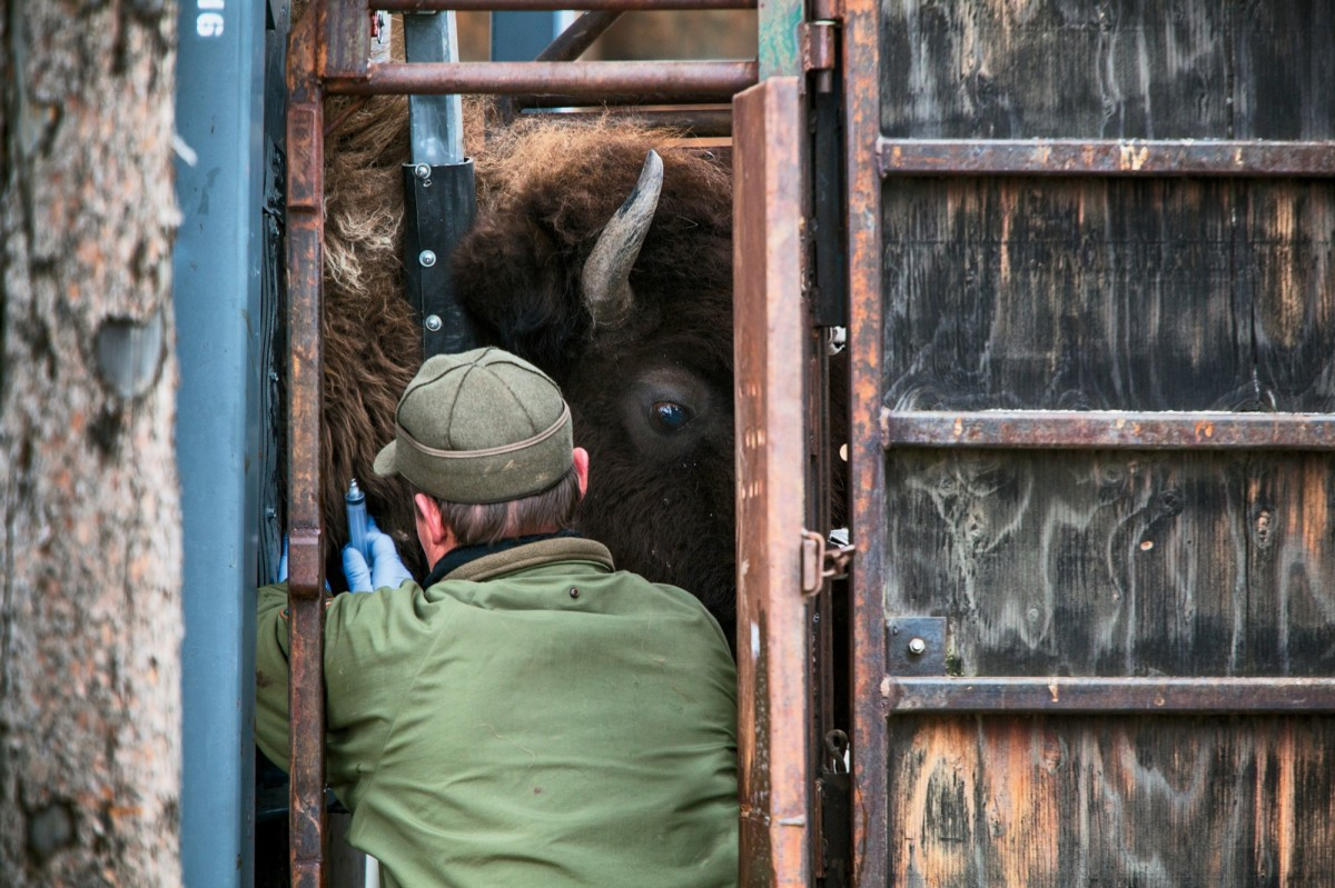 Stephens Creek, Wyoming: Yellowstone National Park biologist Doug Blanton takes a blood sample from a bison for brucellosis testing.