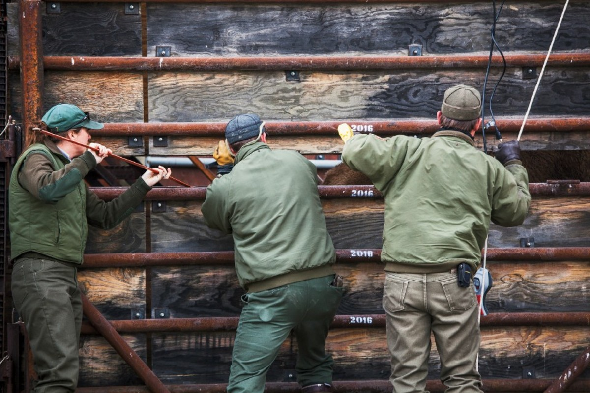 Angie Stewart (left) and Doug Blanton (right), Yellowstone park biologists, and Kevin Dooley, a park ranger, use prods to force bison toward a trailer for transport to a slaughter facility.