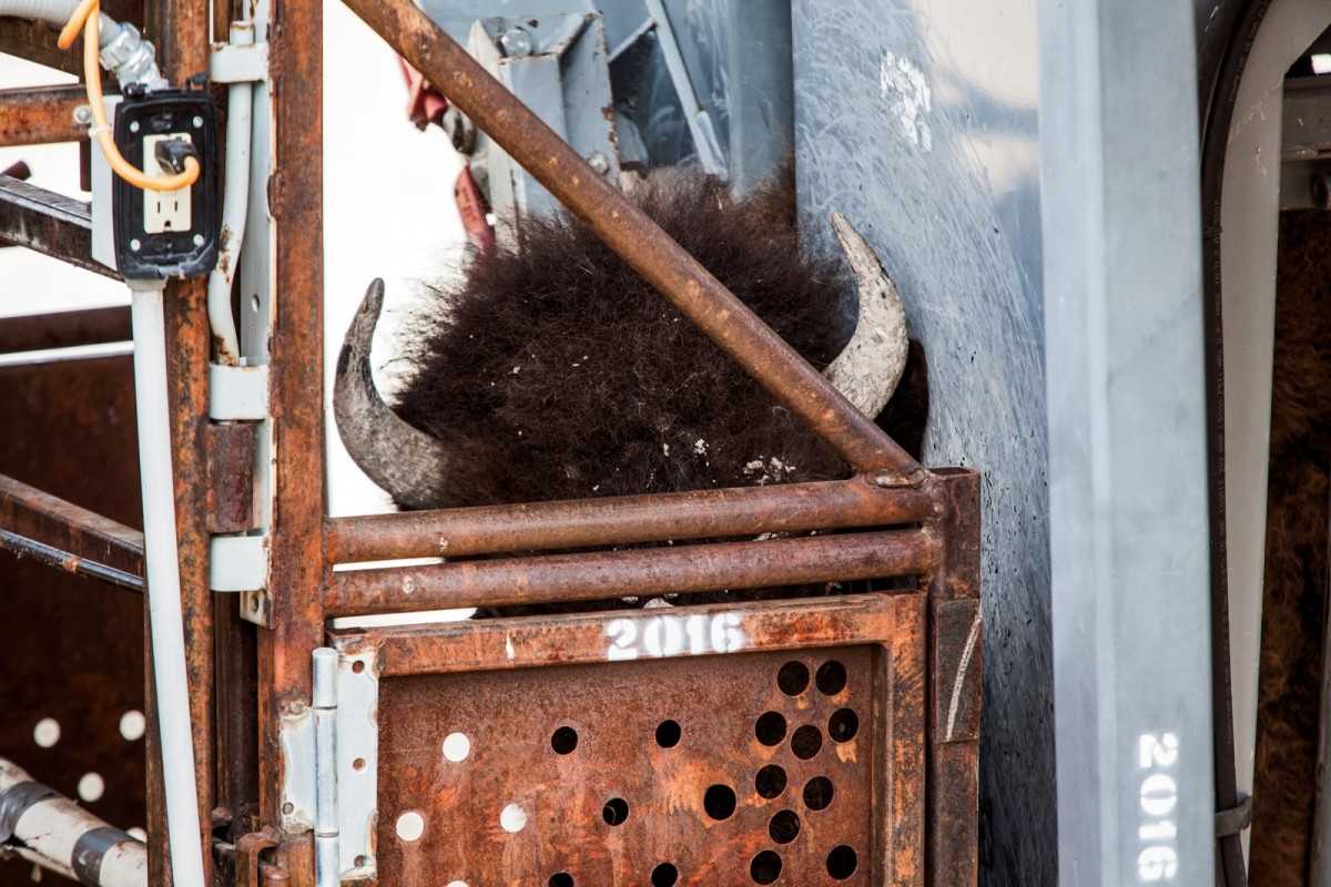A bison in the squeeze chute at Stephens Creek, where the animal will be weighed and have blood drawn. The testing can only confirm brucellosis exposure, not infection. Some animals may test positive because of the presence of antibodies, an indication that they are developing resistance to the disease.