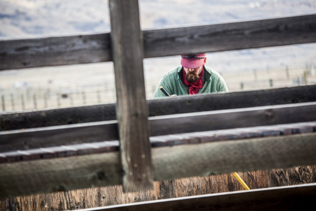 A Yellowstone ranger at the Stephens Creek facility prods bison into a series of chutes for processing and testing.