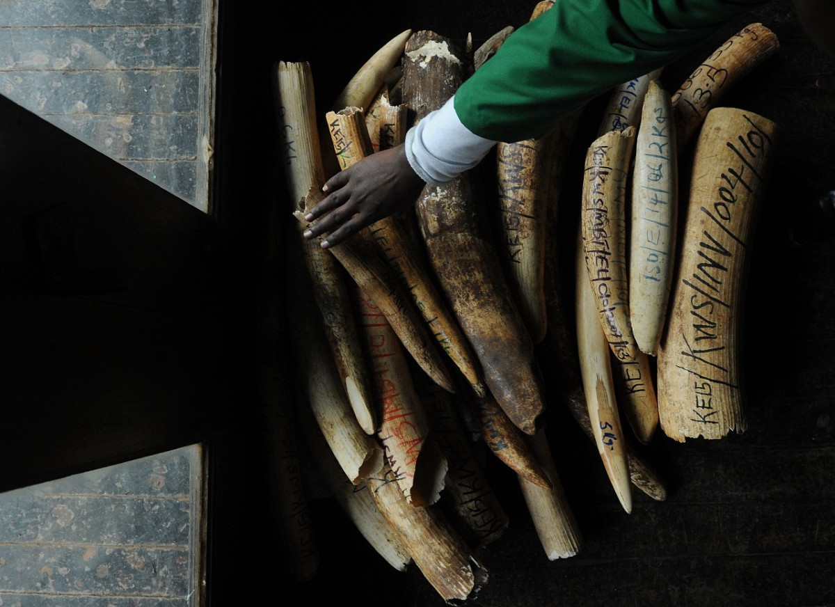 A staff member of the Kenya Wildlife Services does the inventory of illegal elephant ivory stockpiles.