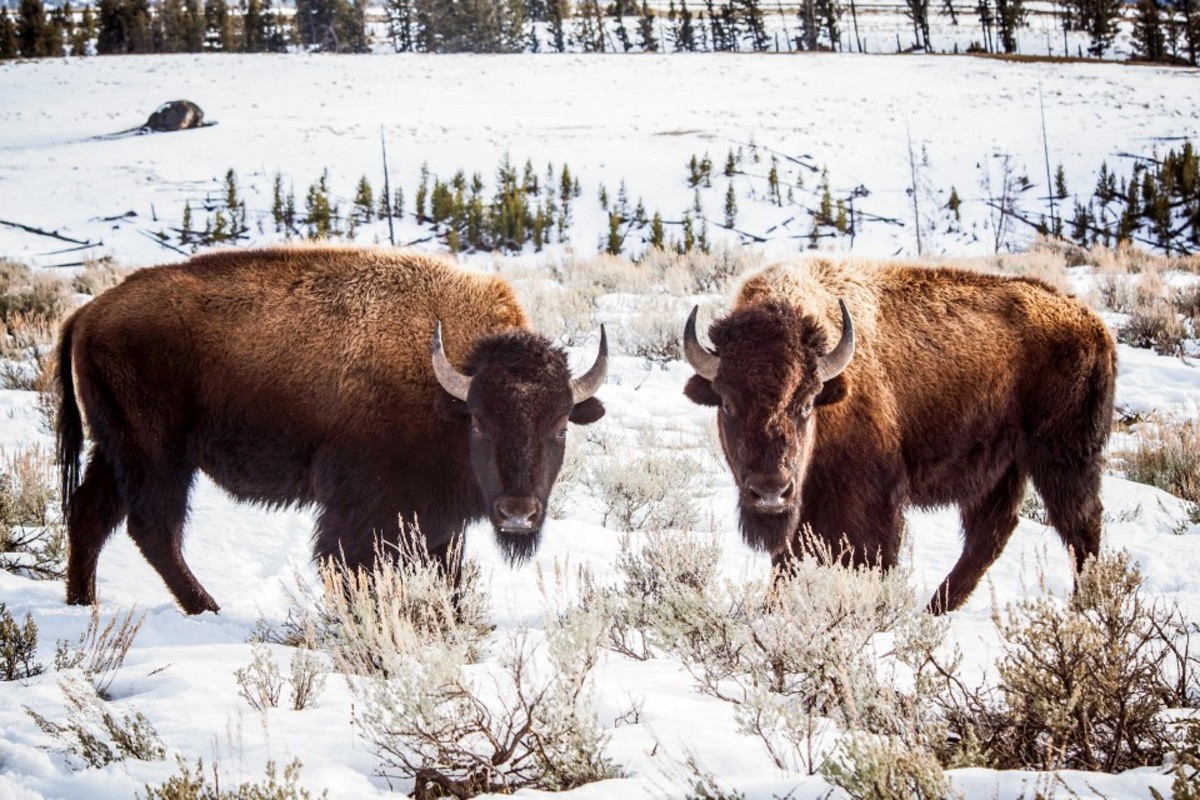 A pair of Yellowstone bison in the park in winter. In heavy snow years, bison migrate out of the park to find winter forage at lower elevations, where ranchers fear they may make contact with cattle and infect them with brucellosis.
