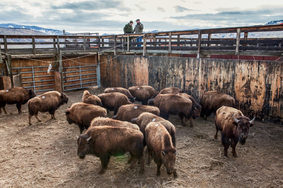 Bison await shipment to slaughter after being processed and tested for brucellosis by Park Service employees at the Stephens Creek facility, located at the northern edge of Yellowstone National Park.