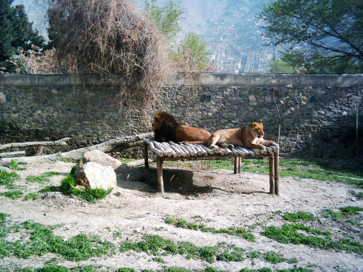 File photo of the lions in their enclosure in 2004 that were hit by heavy bombardment during the civil war.