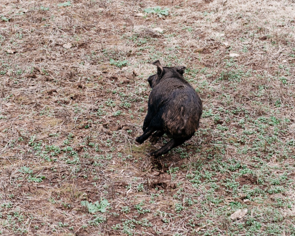 A feral hog runs from the helicopter. It was spotted with two others, and when they heard the helicopter each took off in a different direction. (Photo: Benjamin Rasmussen)