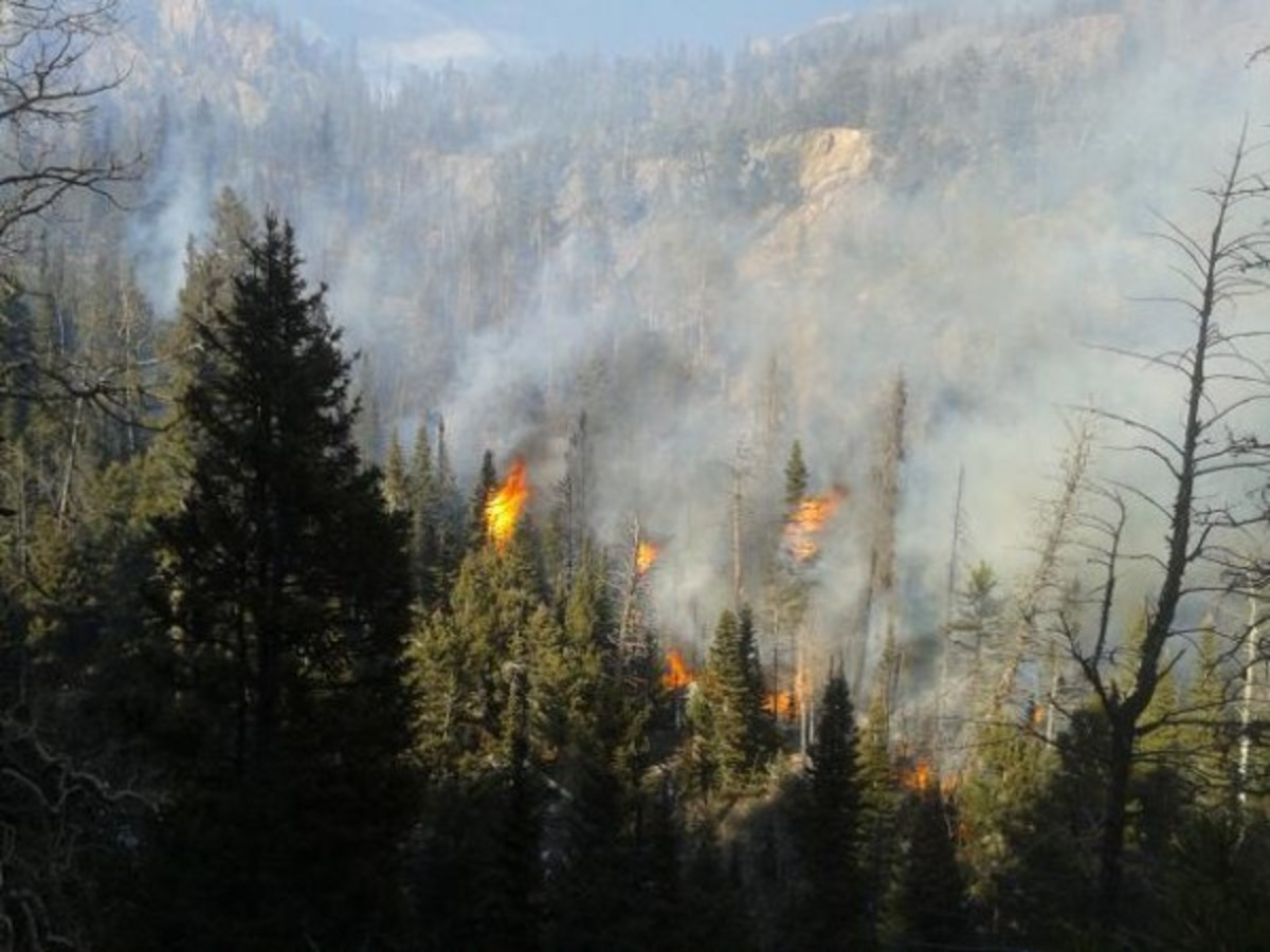Photo showing a pine forest with some trees on fire