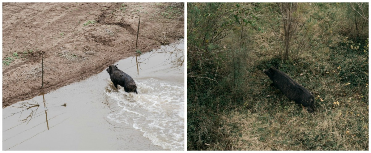 A boar pig being spotted and chased.