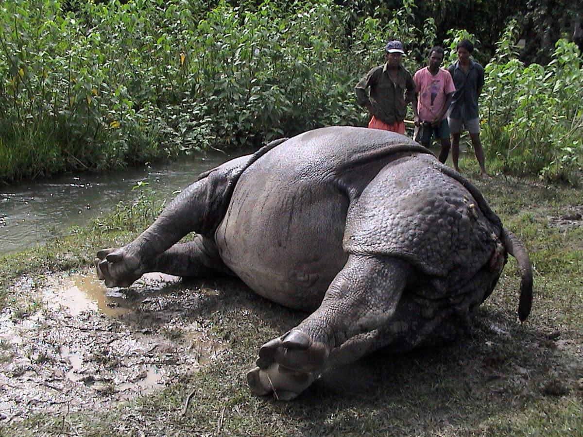 Nepalese forest workers examine a dead rhinoceros in Chitwan National Park.