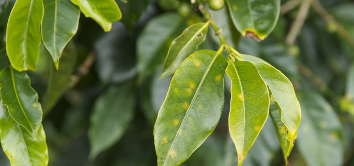 Yellow rust and other diseases attack the crops from what is considered the best coffee in the world.