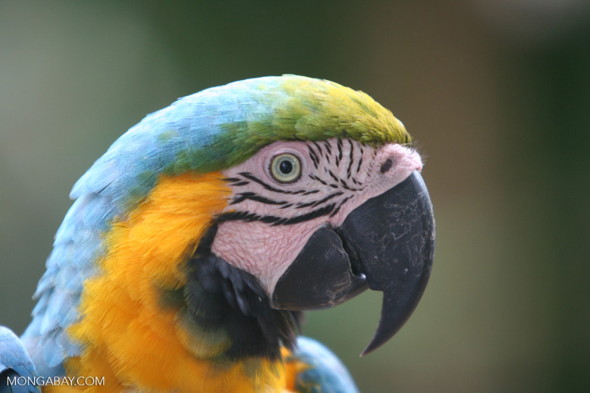A blue and yellow macaw. The decisions being rapidly made by the Temer administration and Brazil's Congress could do massive harm to Amazon biodiversity for decades to come.